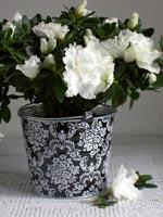 En av de mest älskade färgerna är den vita azalean. Här passar den helt utmärk in till höstens vit/svarta trend med olika grafiska mönster på krukor och tyger. Sorten heter något så vackert som 'Madame Troch'.