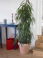 Fikus (bambufikus) (Ficus)