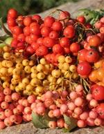 Höstens fägring är vackra bär och praktfulla höstfärger. Svenska rönnar av olika sorter har bär i många läckra färger.