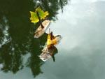Barkbåtar i dammen
