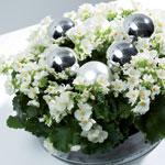 Begonia lorraine