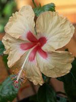 Beige hibiscus från Hawaii
