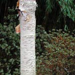 Betula utilis var. jaquemontii, himalajabjörk