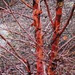 Kopparbjörk-sort med extra orangefärgad stam