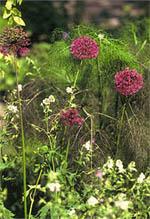 Allium aflatunense ´Purple Sensation´ med sina lila bollar passar utmärkt i kombination med t.ex funkia eller näva.