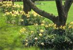 Riktigt nostalgisk blir man vis åsynen av påskliljor och narcisser under den skira grönskan av de gamla äppelträden.