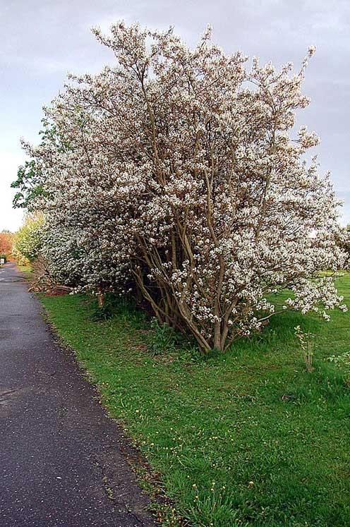 Snabbväxande buskar, lövfällande | Odla.nu