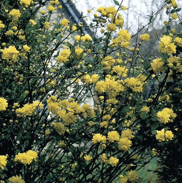 gul buske vår
