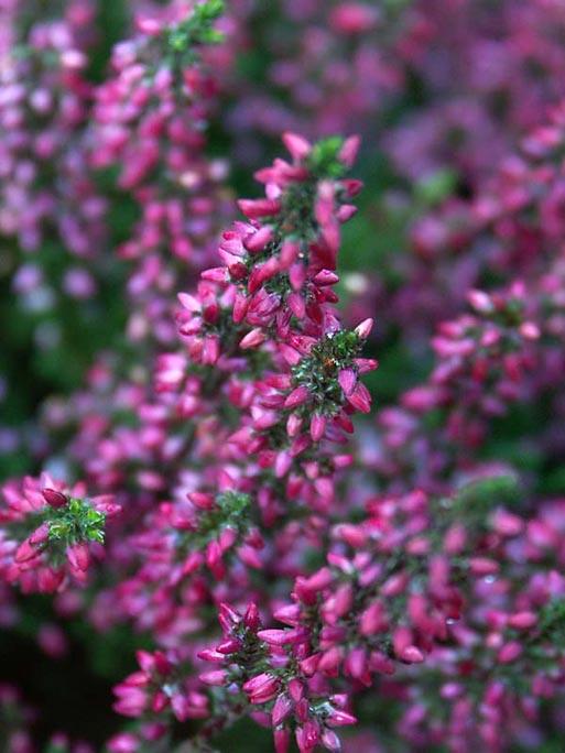 plantera ljung på våren