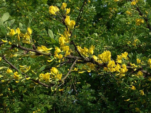 anagrambräcka tellima grandiflora