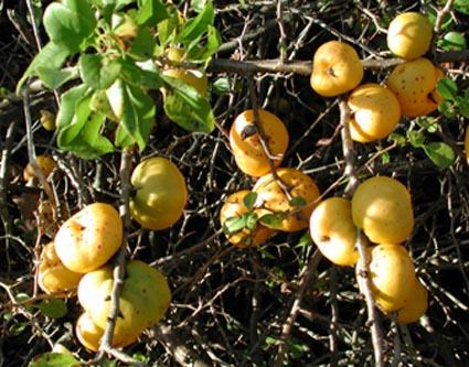gula bär på buske