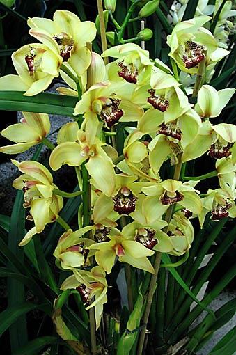 orkid233er i tusenfalt odlanu