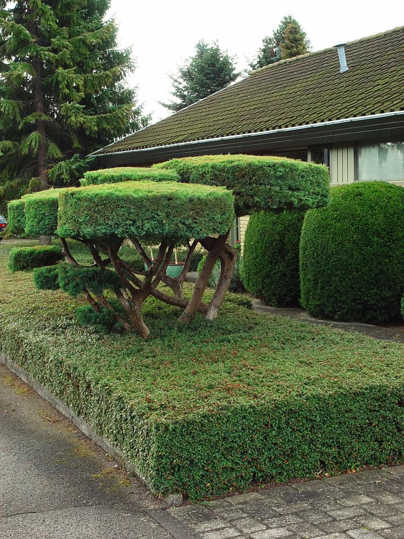 Formklippta växter i trädgården | Odla.nu