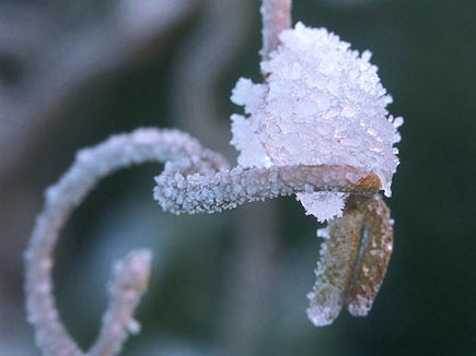 Den roliga ormhasseln är en vinterbuske framför allt, men den blir ännu tjusigare med rimfrostsocker på!