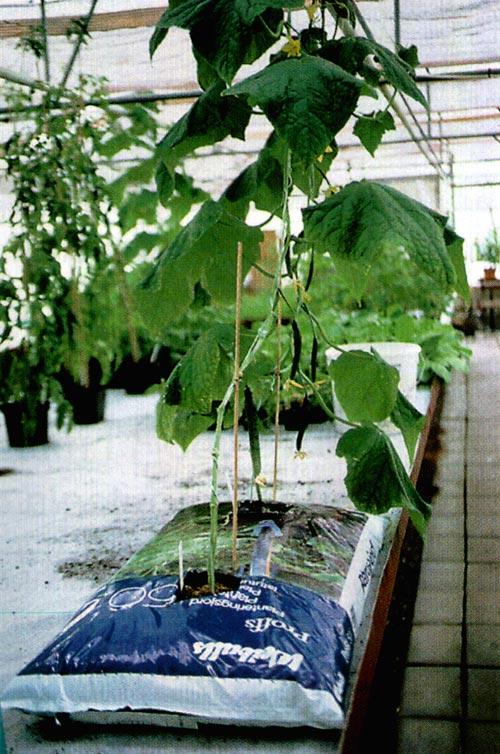 odla gurkor i växthus