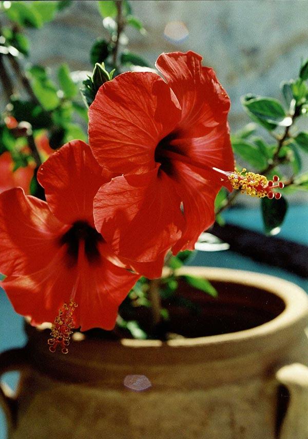 Hibiskus Hibiscus rosasinensis  Odlanu