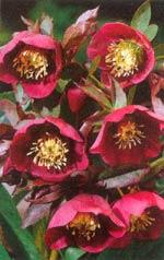 Bland de röda julrosorna är färgvariationen stor, från ganska ljust rött till mörkaste rödviolett. Den stora ståndarsamlingen i mitten ger blomman ett gult öga.