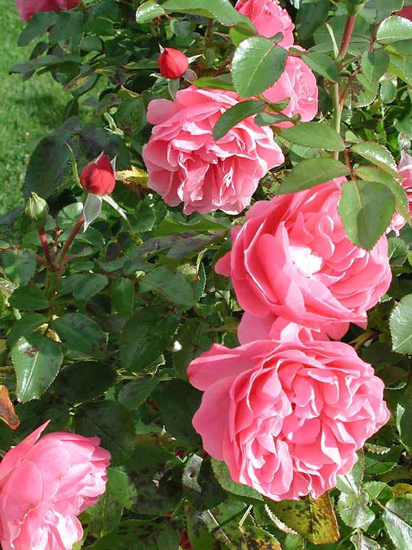 plantera rosor p229 h246sten odlanu