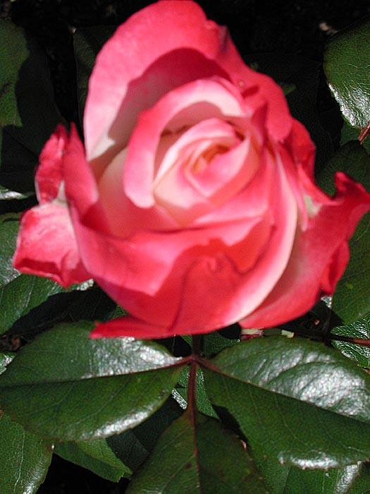 Plantera rosor på hösten | Odla.nu