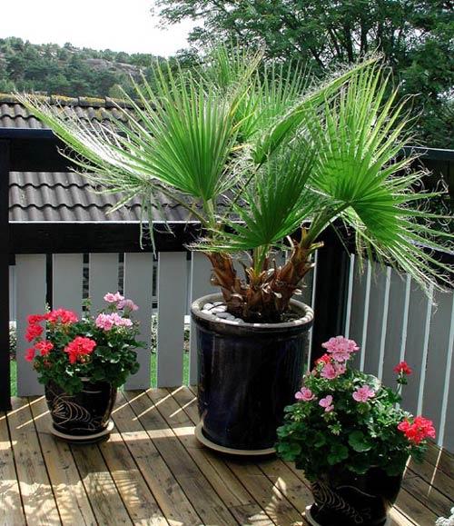 Palm växter utomhus