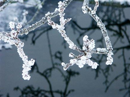 Eller så kan det se ut som om grenarna vore doppade i pärlsocker!