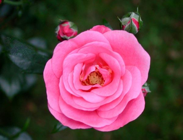 pin rose bella rosa on pinterest. Black Bedroom Furniture Sets. Home Design Ideas