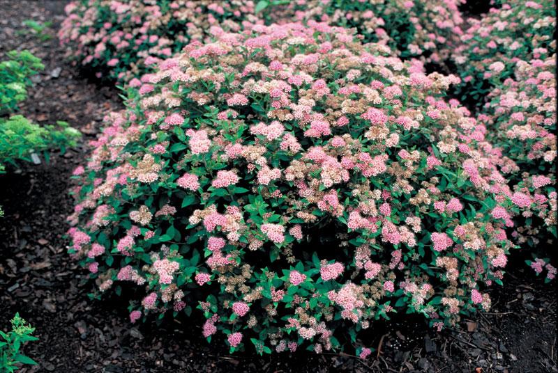 blommande buskar halvskugga