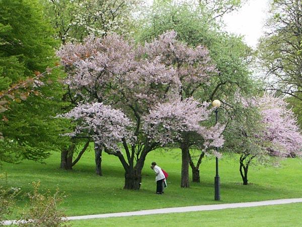 under körsbärsträden
