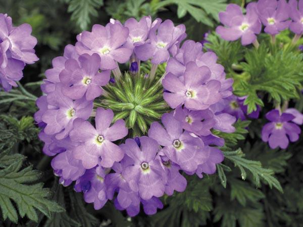verbena blomma skötsel