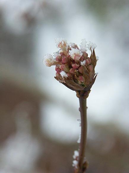 Ofta finns det också bärklasar som hänger kvar långt in på vintern och ger liv åt trädgården, särskilt om de är dekorerade med rimfrost!