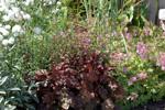 Nysört, rödbladig alunrot och liten flocknäva.