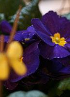 Blå primula med gul fjäril