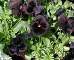 'TM's Black Pansy'