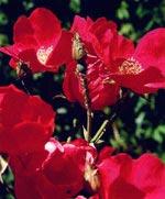Bladlöss på ros