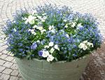 Blåvit plantering