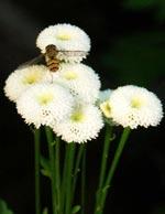Blomfluga på mattram