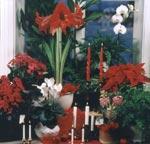 Blommor från världens alla hörn ger oss den rätta julstämningen.