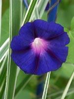 Blomman för dagen, en snabbväxande lian