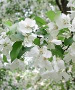Blommande päronträd