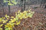 Bokskog om hösten