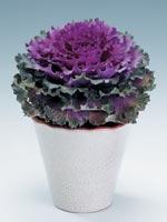 Prydnadskål Brassica oleracea