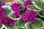 Brokbladig st.paulia purpur