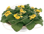 Calceolaria hybrid