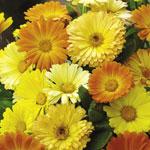 Calendula 'Daisy Mix'