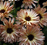 Ringblomma, Calendula officinalis 'Touch of Red Buff'