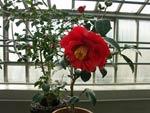 Camellia röd dubbel