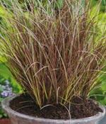 Bronsstarr, Carex flagellifera 'Auburn'