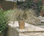 Starr, Carex 'Bronco'