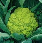 Grön blomkål, 'Cauliflower (Green) Trevi'
