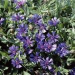 Blåklint, Centaurea cyanoides 'Blue Carpet'